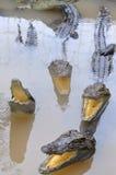鳄鱼增长为肉,皮肤和为有趣的旅客和游人在一个农场在An Giang,一个省在湄公河 库存照片