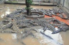 鳄鱼增长为肉,皮肤和为有趣的旅客和游人在一个农场在An Giang,一个省在湄公河 免版税库存图片