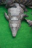 鳄鱼大堆在鳄鱼农场的 库存照片