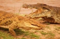 鳄鱼夫妇在非洲察沃国家公园 免版税图库摄影