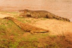 鳄鱼夫妇在非洲察沃国家公园 库存图片