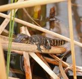 鳄鱼婴孩沼泽地佛罗里达 库存图片