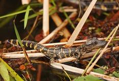 鳄鱼婴孩沼泽地佛罗里达 免版税库存照片