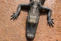 鳄鱼婴孩背景褐色 库存照片