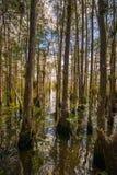 鳄鱼孔的森林 图库摄影