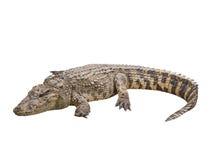 鳄鱼孤立 库存照片