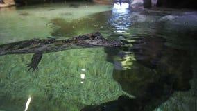 鳄鱼孩子是固定的在水的表面上的水族馆 影视素材