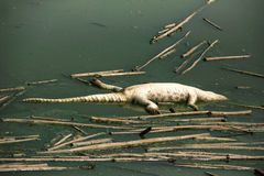 鳄鱼尸体的死者在水污染的 免版税库存照片