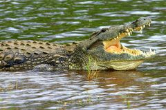 鳄鱼尼罗 库存图片