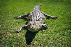 鳄鱼尼罗 免版税图库摄影