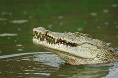 鳄鱼尼罗 免版税库存图片