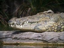 鳄鱼尼罗 库存照片