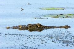 鳄鱼尼罗 免版税库存照片