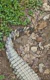 鳄鱼尾巴 免版税库存照片