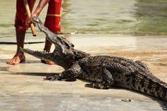 鳄鱼展示 库存图片