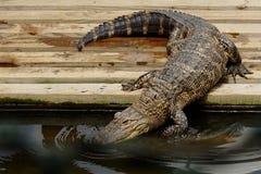 鳄鱼年轻人 库存图片