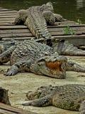 鳄鱼得到Tan 免版税图库摄影