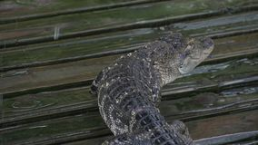 鳄鱼慢慢地走 影视素材