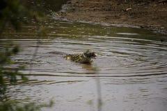 鳄鱼捉住牺牲者在弯曲处角落,克留格尔国家公园,S 免版税库存照片