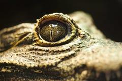 鳄鱼接近的眼睛 免版税库存照片