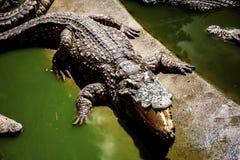 鳄鱼是嘴是开放的在农场 库存照片