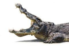 鳄鱼是开放嘴 免版税库存图片