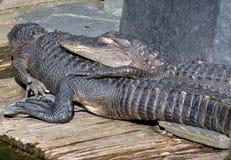 鳄鱼晒日光浴的夫妇  库存照片