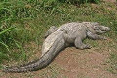 鳄鱼晒黑 库存照片