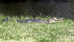 年轻鳄鱼晒黑 图库摄影