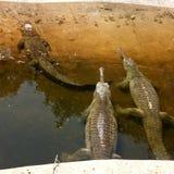 鳄鱼杯子 免版税库存图片