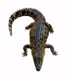 鳄鱼查出的位于的白色 免版税库存图片