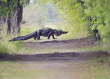 鳄鱼横穿足迹 库存照片