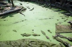 鳄鱼池塘 免版税库存照片