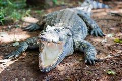 鳄鱼没有吃的树干 免版税库存照片