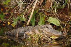 鳄鱼沼泽地大量佛罗里达的男 库存图片