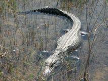 鳄鱼沼泽地 库存图片