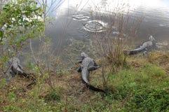 鳄鱼沼泽 库存照片