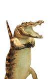 鳄鱼泡沫 免版税库存图片