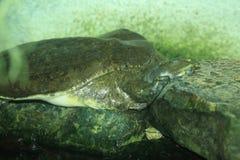 鳄鱼海龟 库存照片