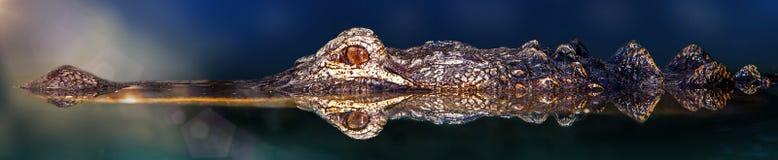 鳄鱼游泳在与反射的水中 库存图片