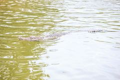 鳄鱼游泳在横跨阳光道路的水下 库存照片