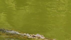 鳄鱼游泳在水中 影视素材