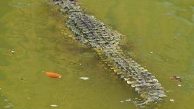 鳄鱼游泳在水中 股票视频