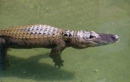 鳄鱼游泳在绿色水中 库存照片