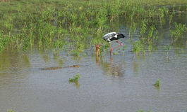 鳄鱼游泳由印地安马拉布决定 Yala公园,斯里兰卡 库存图片