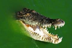 鳄鱼游泳视图野生生物 免版税图库摄影