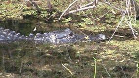 鳄鱼游泳通过水厂在沼泽地 股票录像
