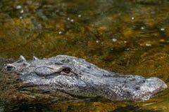 鳄鱼游泳,大赛普里斯全国蜜饯,佛罗里达 库存照片