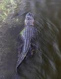 鳄鱼游泳 免版税库存照片