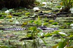 鳄鱼游泳 库存照片